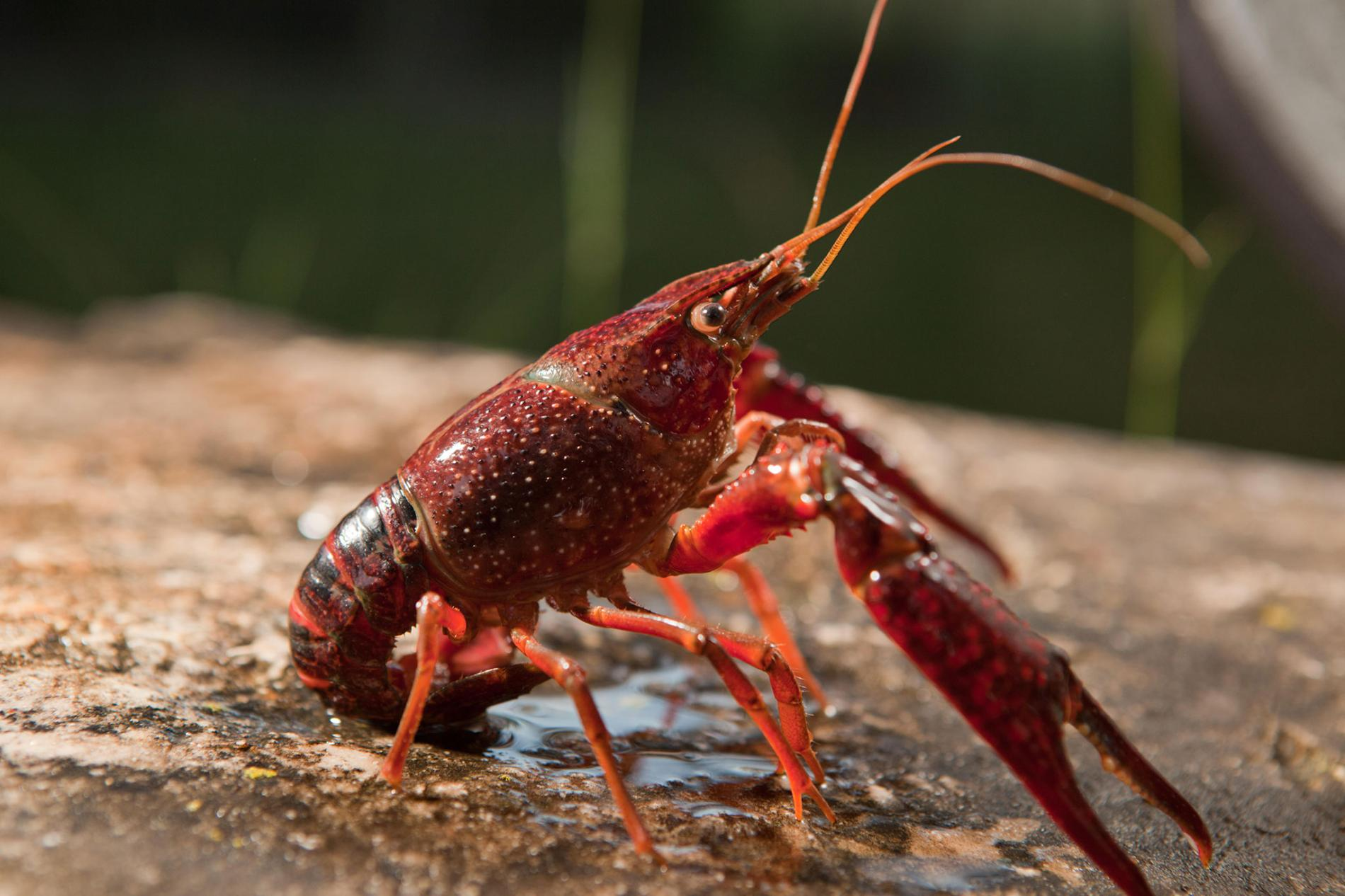 The invasive red swamp crayfish (Procambarus clarkii) increases infection of the amphibian chytrid fungus (Batrachochytrium dendrobatidis)