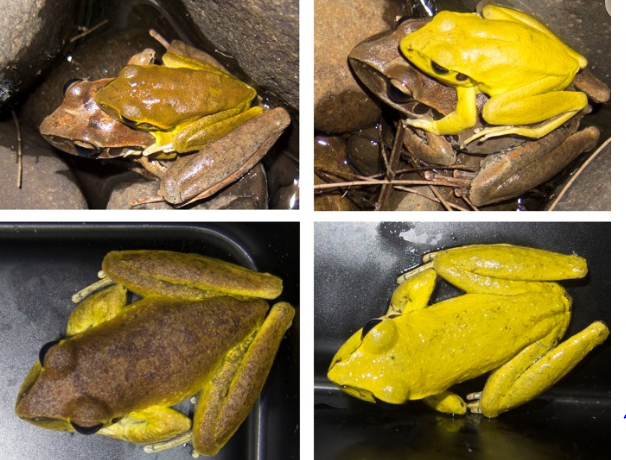 The Neuro-Hormonal Control of Rapid Dynamic Skin Colour Change in an Amphibian during Amplexus